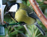 Great Tit:四十雀