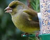 greenfinch:アオカワラヒワ