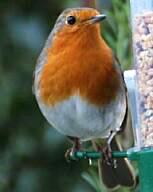 robin:コマドリ